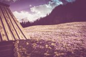 Old Wooden Mountain Cabin surrounded by Crocus Meadow. Tatra Mou