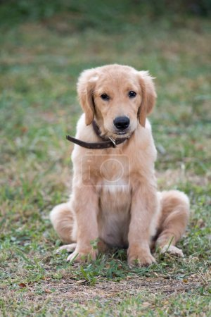 4 months golden dog sitting on green grass.