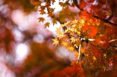 Autumnal yellow maple leaves in blurred background
