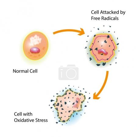 Cell Oxidative Stress