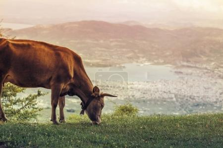 Cows graze on a meadow of mountain at sunset of Greece. Cow on the mountain opposite the Greek city of Volos.