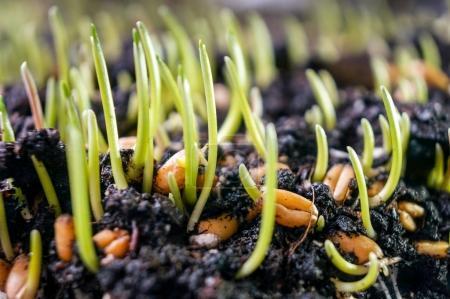 Close-up fresh wheatgrass plant organic for drink