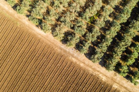Photo pour Plantation d'oliviers et champ agricole - image libre de droit