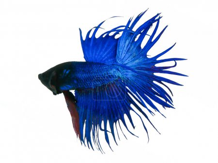 Photo for Capture the moving moment beautiful of siam blue halfmoon betta fish in thailand on white background. - Royalty Free Image