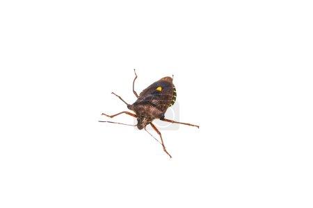 Forest bug lat.Pentatoma rufipes.