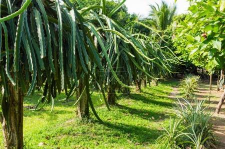 Photo pour Dragons fruits, Pitahaya plantation de fruits au Vietnam . - image libre de droit