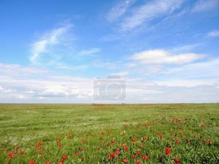 blühende wilde Tulpen im Frühling