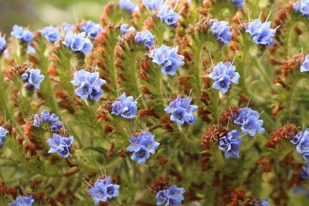 """Photo pour Fleurs bleues """"Fierté de Madère"""" à Saint-Gall, Suisse. Son nom latin est Echium Candicans (Syn Echium Fastuosum), originaire de Madère au Portugal et des îles Canaries. . - image libre de droit"""
