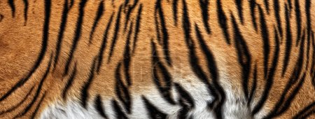 texture of real tiger skin, fur