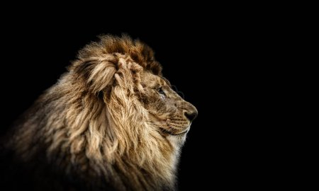 Portrait of a Beautiful lion, Cat in profile, lion in dark