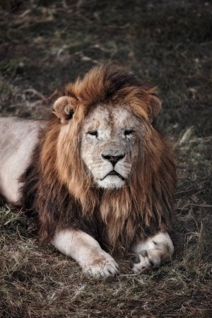 Beautiful Lion. Caesar in the savanna. scorched grass