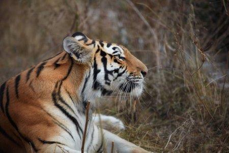 Tiger, portrait of a tiger