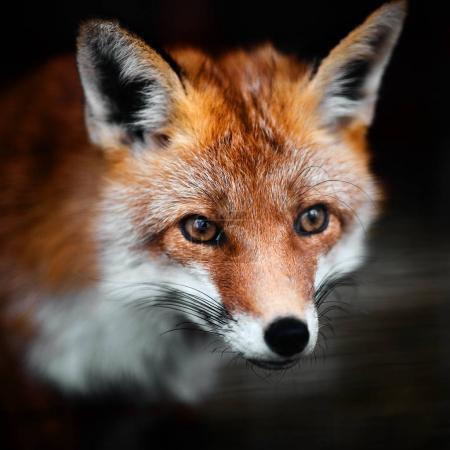 Photo pour Portrait of a red fox male, vulpes vulpes. - image libre de droit