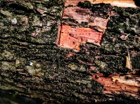 The bark of the red tree has been cut squarely in the summer.