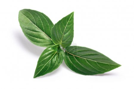 Thai Holy Basil fresh leaves, paths