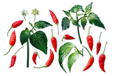 Aji Brazilian Bonanza pepper elements, paths