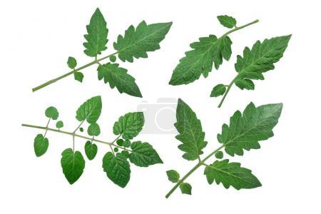 Tomato leaves, top view, paths
