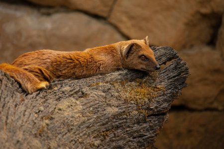 Mongoose  lying on a wooden stump. (Cynictis penic...
