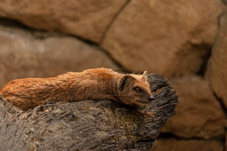 Yellow mongoose lying on a wooden stump. (Cynictis...