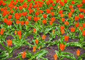 Colorful tulips in the garden, beautiful tulips, spring tulips, red tulips.