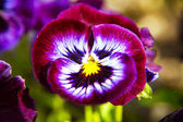 purple pansies flower in the garden at sunny day, pansy viola flower.