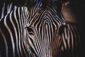 Vedoucí zebra Grévyho