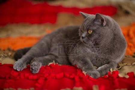 Photo pour Beau gris British shorthair chat garçon se trouve sur le lit - image libre de droit