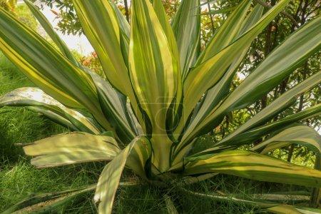 Yellow and green leaves Furcraea foetida. Beautiful flower Mauri