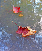 Autumn dry red maple leaf on a water surface