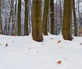 Early winter. The fallen-down oak leaves on snow.
