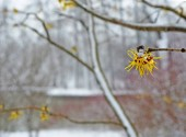 Blossoming of  witch-hazel in early spring