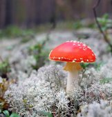 Red fly-agaric on a beautiful white moss.