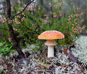 Red fly-agaric near a beautiful white moss and a heather.