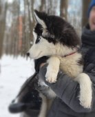 Portrait of puppy of breed huskies sitting on owner's hands
