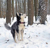 Husky puppy playing with snow 1