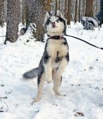 Husky puppy playing with snow 2