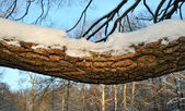 The big horizontal branch of a willow which is filled up with sn