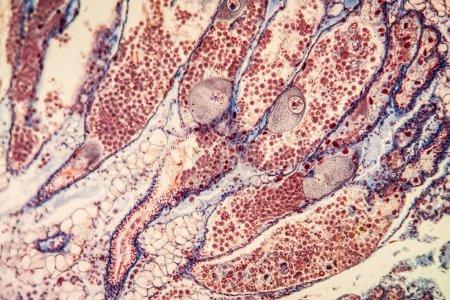 hermaphrodite gland Gewebe unter dem Mikroskop 200x