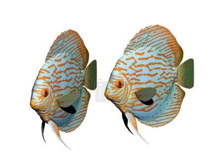 Elegant ornamental fish swim in the water...