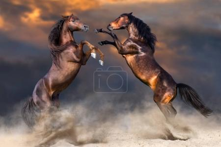 Two horse fight