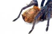 Abdomen and spinnerets of Greenbottle tarantula (Chromatopelma c