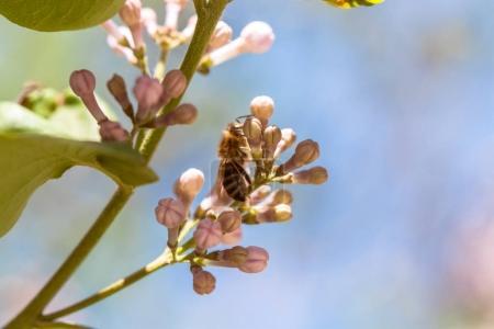 Photo pour Gros plan de fleurs lilas en fleurs avec abeille pollinisatrice - image libre de droit