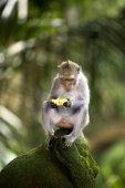 Banana eating monkey