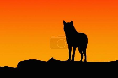 Photo pour Silhouette d'un loup sur coucher de soleil. - image libre de droit