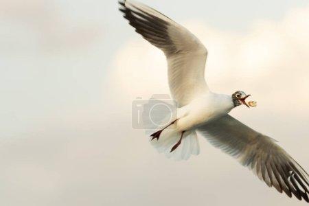 Photo pour Voler une mouette sur un ciel bleu et attraper un morceau de bagel dans les airs . - image libre de droit