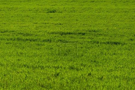 Foto de Cultivos verdes de fondo de textura de césped. - Imagen libre de derechos