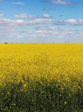 Photo pour Champ jaune et ciel bleu nuageux fond - image libre de droit