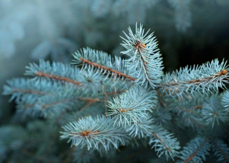 blue pine tree branches