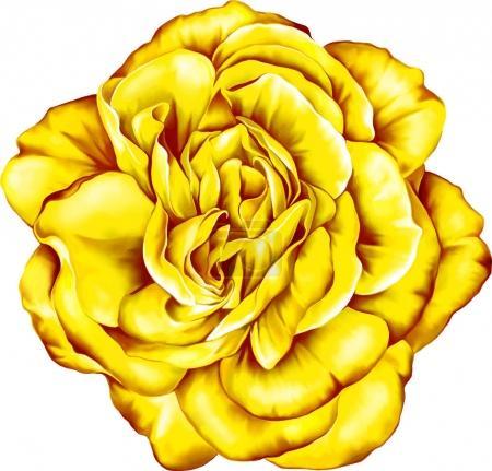 Photo for Yellow  beautiful  rose bud isolated on white background. - Royalty Free Image