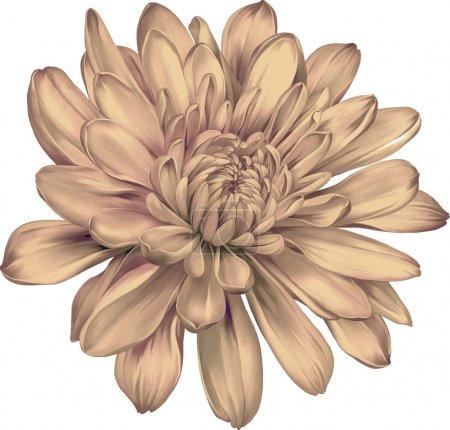 Photo for Beautiful chrysanthemum flower isolated on white background - Royalty Free Image